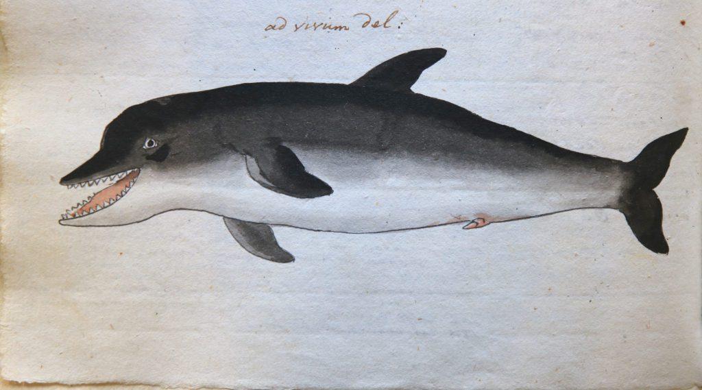 Tekening van een dolfijn door Isaac van Haastert (Archief 598, inv.nr 767, blz. 598)