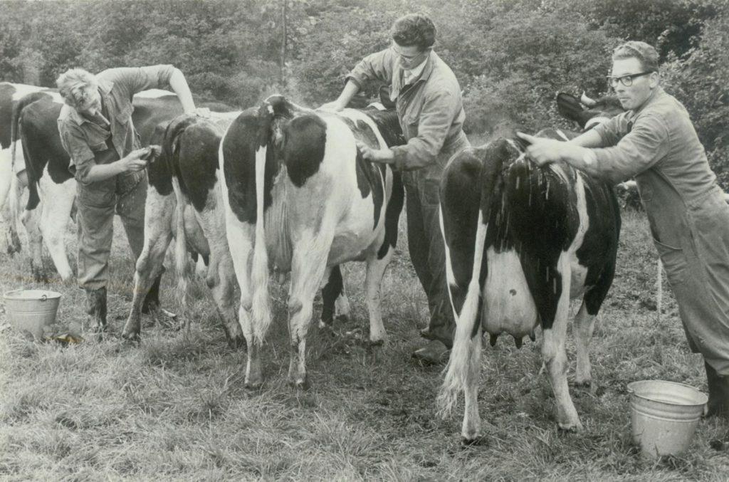 Koeien krijgen een wasbeurt tijdens de jaarlijkse Wester V, 1966, foto Tiemen van der Reijken. (TMS 96700)